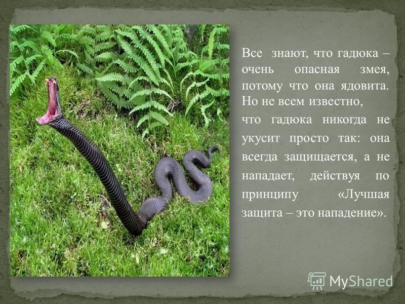 Все знают, что гадюка – очень опасная змея, потому что она ядовита. Но не всем известно, что гадюка никогда не укусит просто так: она всегда защищается, а не нападает, действуя по принципу «Лучшая защита – это нападение».