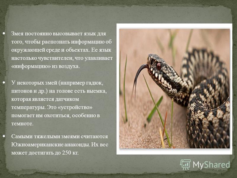 Змея постоянно высовывает язык для того, чтобы распознать информацию об окружающей среде и объектах. Ее язык настолько чувствителен, что улавливает «информацию» из воздуха. У некоторых змей (например гадюк, питонов и др.) на голове есть выемка, котор