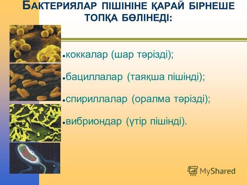 Б АКТЕРИЯЛАР ПІШІНІНЕ ҚАРАЙ БІРНЕШЕ ТОПҚА БӨЛІНЕДІ : коккалар (шар тәрізді); бациллалар (таяқша пішінді); спириллалар (оралма тәрізді); вибрион дар (үтір пішінді).