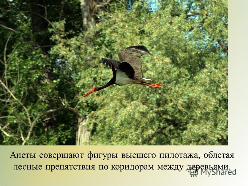 Аисты совершают фигуры высшего пилотажа, облетая лесные препятствия по коридорам между деревьями.