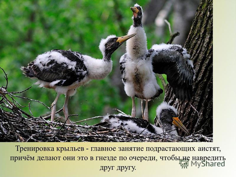 Тренировка крыльев - главное занятие подрастающих аистят, причём делают они это в гнезде по очереди, чтобы не навредить друг другу.