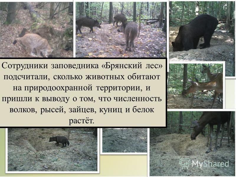 Сотрудники заповедника «Брянский лес» подсчитали, сколько животных обитают на природоохранной территории, и пришли к выводу о том, что численность волков, рысей, зайцев, куниц и белок растёт.