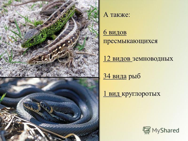 А также: 6 видов пресмыкающихся 12 видов земноводных 34 вида рыб 1 вид круглоротых