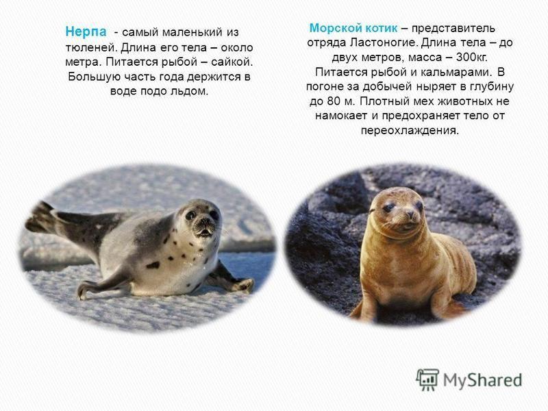 Нерпа - самый маленький из тюленей. Длина его тела – около метра. Питается рыбой – сайкой. Большую часть года держится в воде подо льдом. Морской котик – представитель отряда Ластоногие. Длина тела – до двух метров, масса – 300 кг. Питается рыбой и к