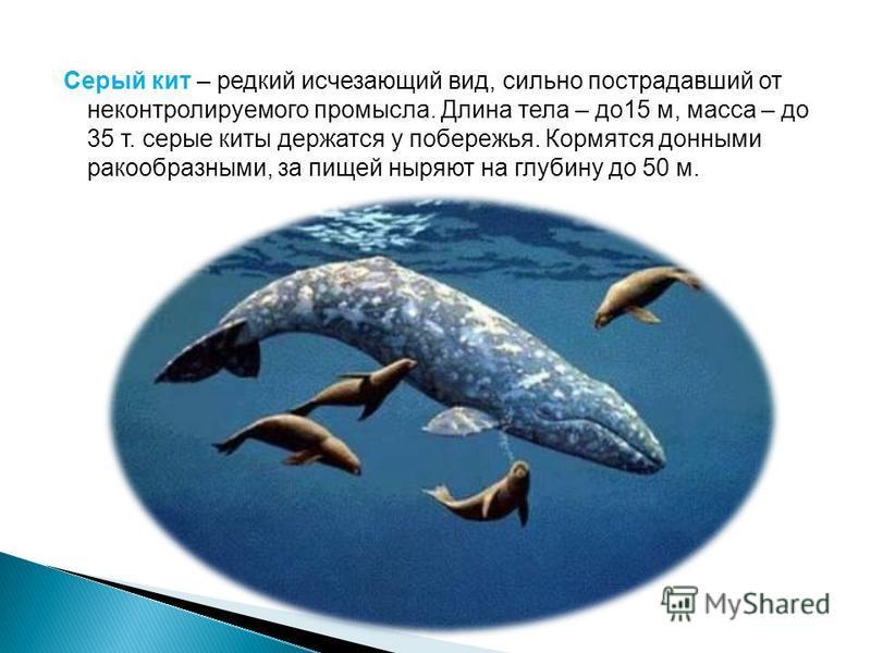 Серый кит – редкий исчезающий вид, сильно пострадавший от неконтролируемого промысла. Длина тела – до 15 м, масса – до 35 т. серые киты держатся у побережья. Кормятся донными ракообразными, за пищей ныряют на глубину до 50 м.