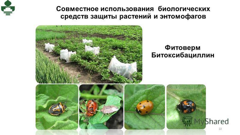 Совместное использования биологических средств защиты растений и энтомофагов 22 Фитоверм Битоксибациллин