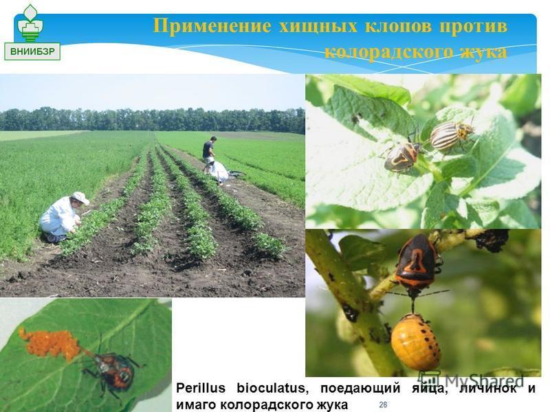 Применение хищных клопов против колорадского жука Perillus bioculatus, поедающий яйца, личинок и имаго колорадского жука 28