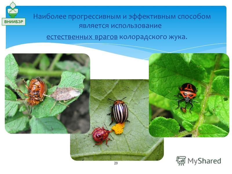 29 Наиболее прогрессивным и эффективным способом является использование естественных врагов колорадского жука.