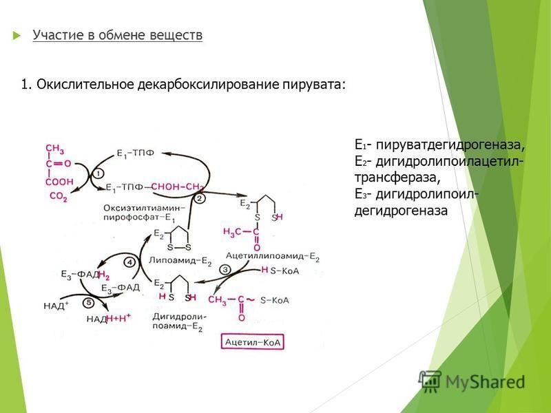 Участие в обмене веществ 1. Окислительное декарбоксилирование пирувата: Е 1 - пируватдегидрогеназа, Е 2 - дигидролипоилацетил- трансфераза, Е 3 - дигидролипоил- дегидрогеназа