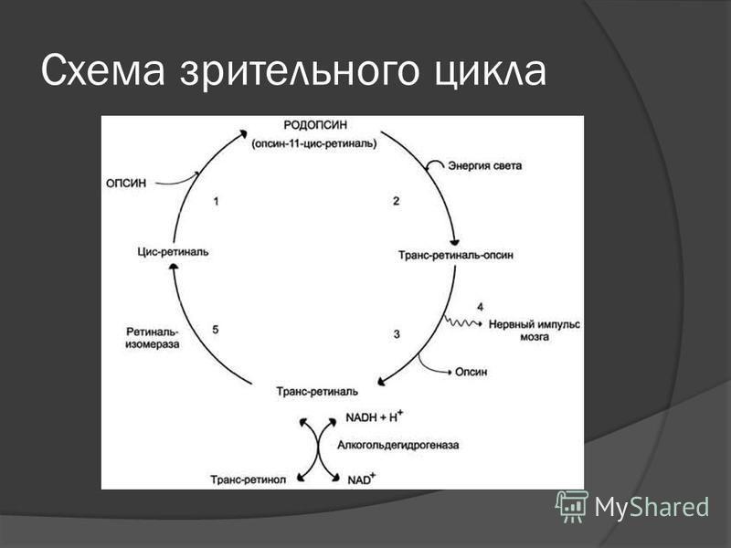 Схема зрительного цикла