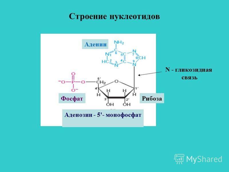 Строение нуклеотидов Аденозин - 5'- монофосфат Рибоза Фосфат Аденин N - гликозидная связь