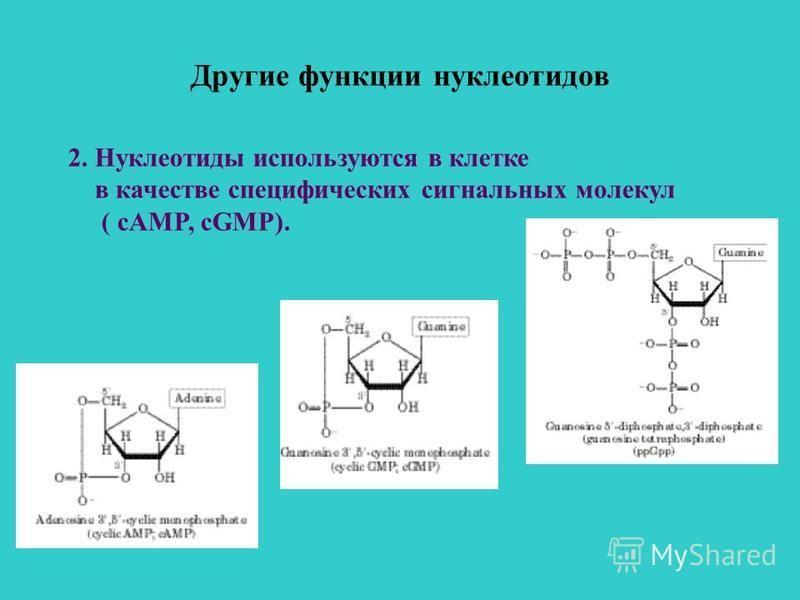 Другие функции нуклеотидов 2. Нуклеотиды используются в клетке в качестве специфических сигнальных молекул ( сAMP, cGMP).
