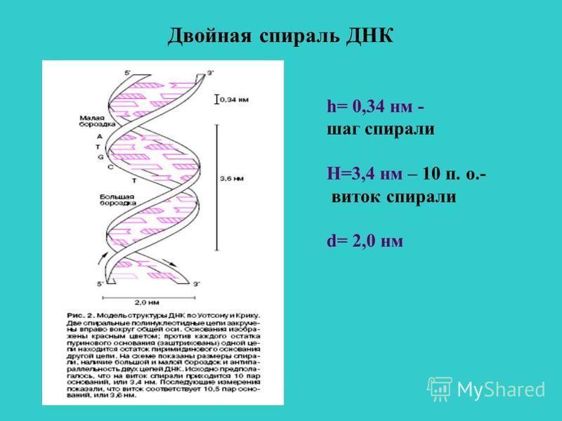 Двойная спираль ДНК h= 0,34 нм - шаг спирали Н=3,4 нм – 10 п. о.- виток спирали d= 2,0 нм