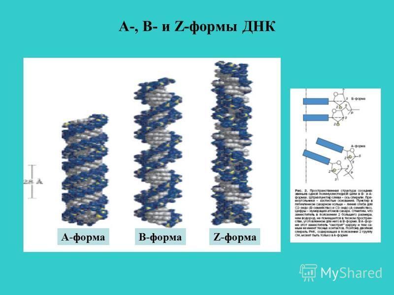 А-, В- и Z-формы ДНК А-формаВ-формаZ-форма