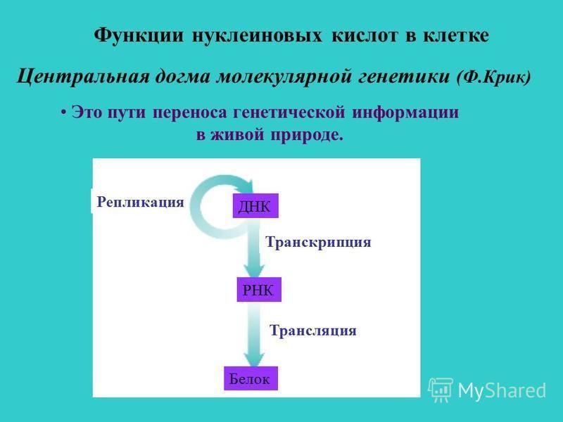 Центральная догма молекулярной генетики (Ф.Крик) Это пути переноса генетической информации в живой природе. Белок РНК ДНК Трансляция Транскрипция Репликация Функции нуклеиновых кислот в клетке