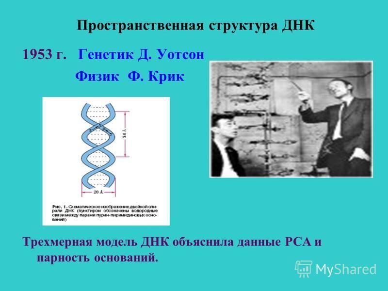 Пространственная структура ДНК 1953 г. Генетик Д. Уотсон Физик Ф. Крик Трехмерная модель ДНК объяснила данные РСА и парность оснований.