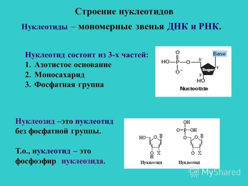 Строение нуклеотидов Нуклеотиды – мономерные звенья ДНК и РНК. Нуклеотид состоит из 3-х частей: 1. Азотистое основание 2. Моносахарид 3. Фосфатная группа Нуклеозид –это нуклеотид без фосфатной группы. Т.о., нуклеотид – это фосфоэфир нуклеозида.
