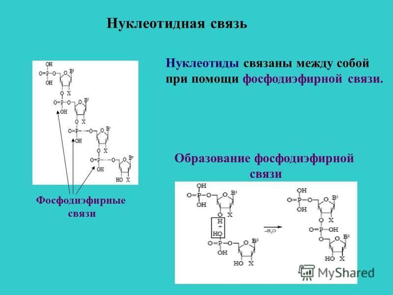 Нуклеотидная связь Нуклеотиды связаны между собой при помощи фосфодиэфирной связи. Образование фосфодиэфирной связи Фосфодиэфирные связи