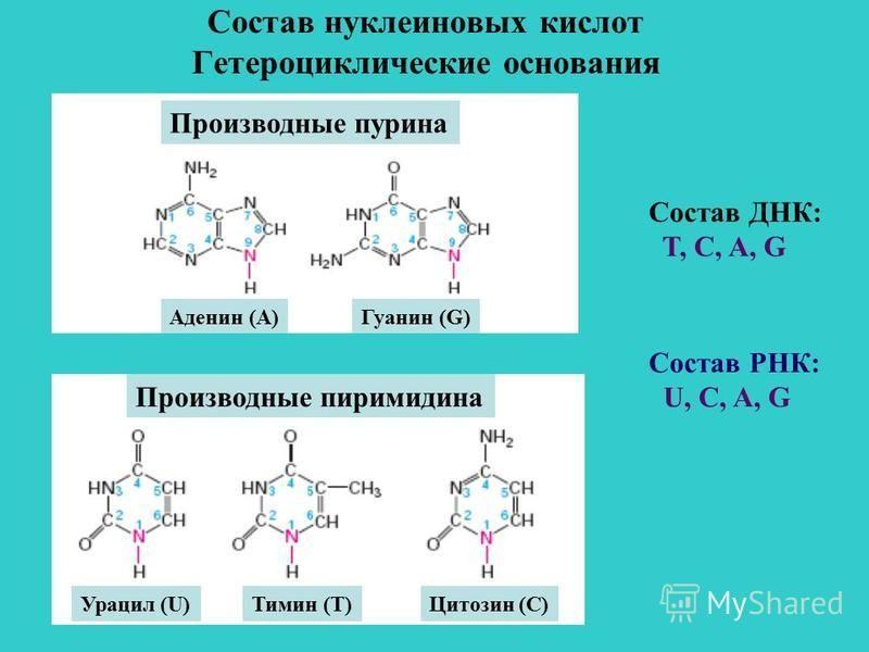 Состав нуклеиновых кислот Гетероциклические основания Производные пурина Аденин (А)Гуанин (G) Урацил (U)Тимин (Т)Цитозин (С) Производные пурина Производные пиримидина Состав ДНК: T, C, A, G Состав РНК: U, C, A, G