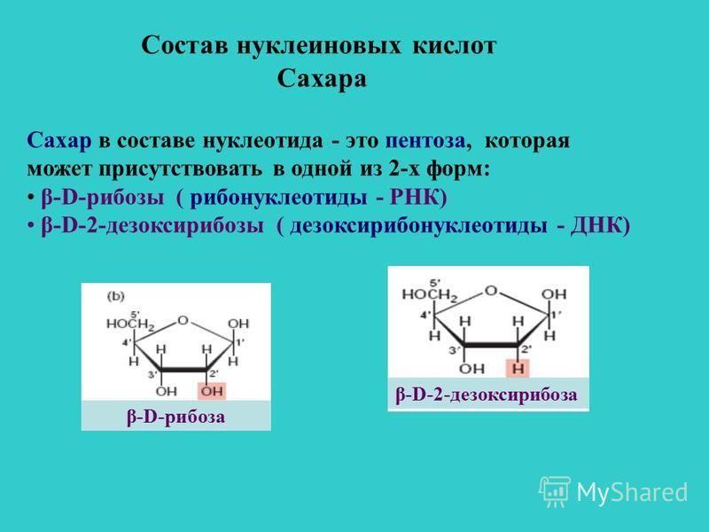 Состав нуклеиновых кислот Сахара Сахар в составе нуклеотида - это пентоза, которая может присутствовать в одной из 2-х форм: β-D-рибозы ( рибонуклеотиды - РНК) β-D-2-дезоксирибозы ( дезоксирибонуклеотиды - ДНК) β-D-рибоза β-D-2-дезоксирибоза