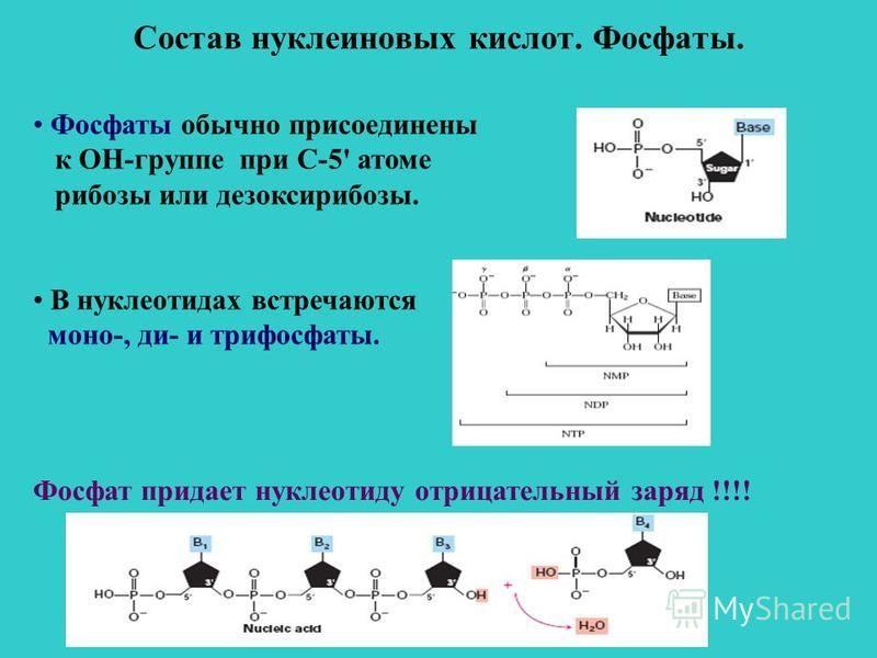 Состав нуклеиновых кислот. Фосфаты. Фосфаты обычно присоединены к ОН-группе при С-5' атоме рибозы или дезоксирибозы. В нуклеотидах встречаются моно-, ди- и трифосфаты. Фосфат придает нуклеотиду отрицательный заряд !!!!