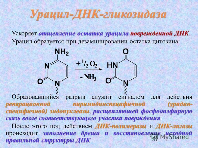 отщепление остатка урацила поврежденной ДНК Ускоряет отщепление остатка урацила поврежденной ДНК. Урацил образуется при дезаминировании остатка цитозина: репарационной пиримидинспецифичной (уридин- специфичной) эндонуклеазырасщепляющей фосфодиэфирную