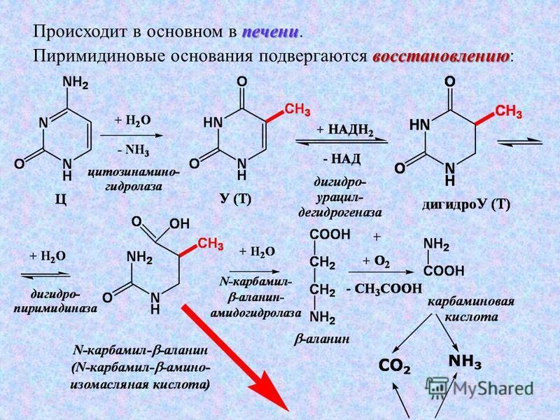 печени Происходит в основном в печени. восстановлению Пиримидиновые основания подвергаются восстановлению: