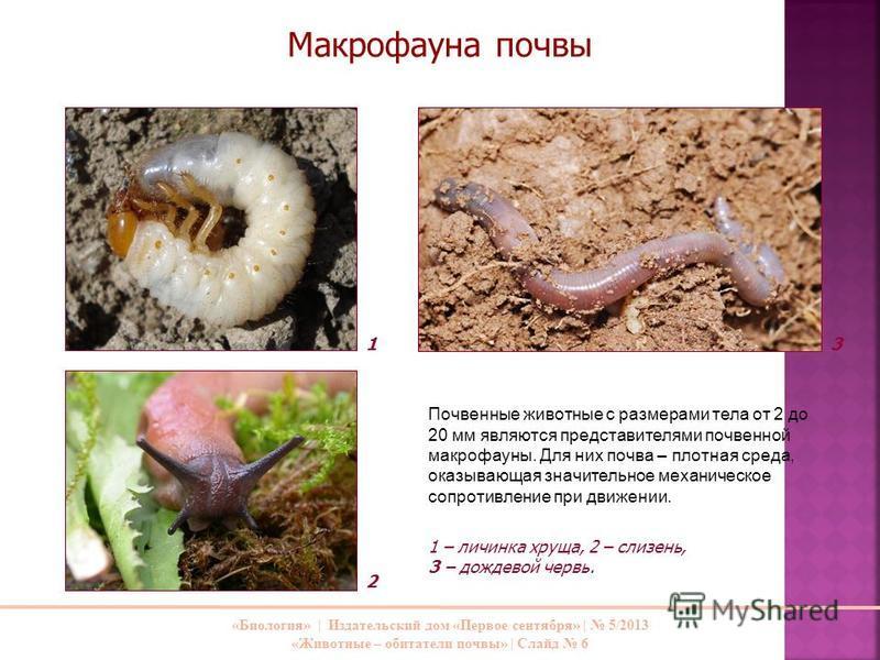 «Биология»   Издательский дом «Первое сентября»   5/2013 «Животные – обитатели почвы»   Слайд 6 Почвенные животные с размерами тела от 2 до 20 мм являются представителями почвенной макрофауны. Для них почва – плотная среда, оказывающая значительное м