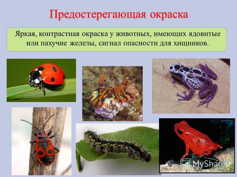Предостерегающая окраска Яркая, контрастная окраска у животных, имеющих ядовитые или пахучие железы, сигнал опасности для хищников.