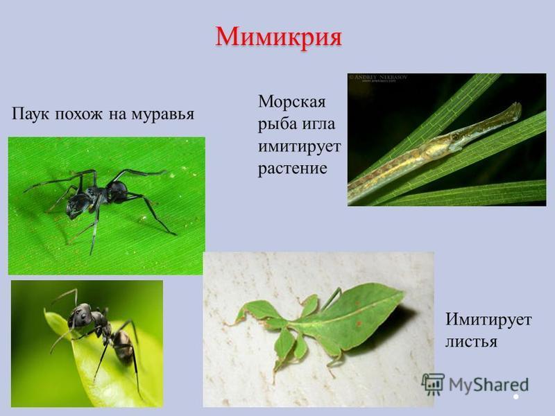 Мимикрия Морская рыба игла имитирует растение Паук похож на муравья Имитирует листья