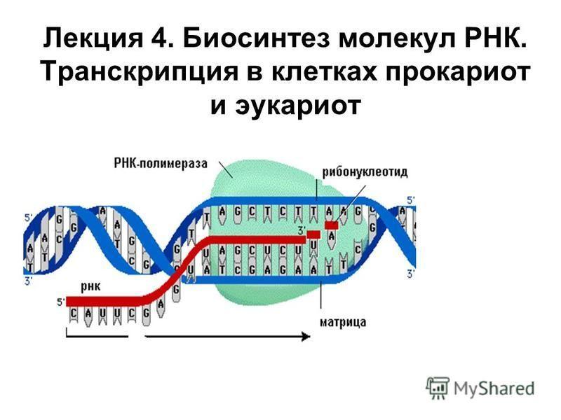 Лекция 4. Биосинтез молекул РНК. Транскрипция в клетках прокариот и эукариот