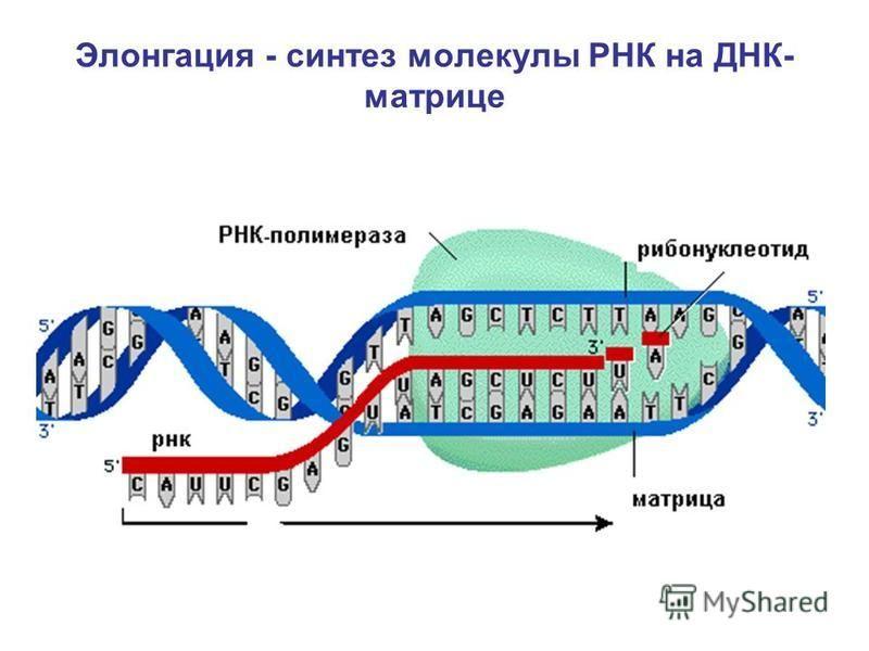 Элонгация - синтез молекулы РНК на ДНК- матрице