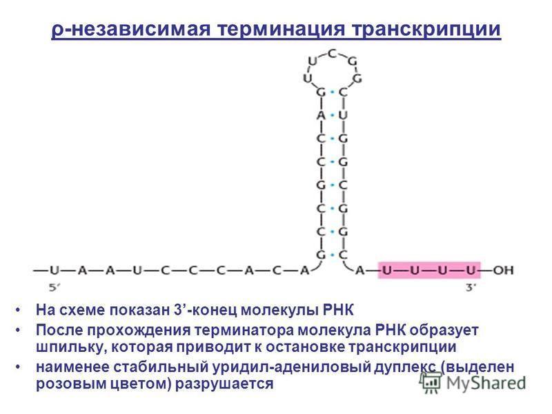 ρ-независимая терминация транскрипции На схеме показан 3-конец молекулы РНК После прохождения терминатора молекула РНК образует шпильку, которая приводит к остановке транскрипции наименее стабильный уридил-адениловый дуплекс (выделен розовым цветом)