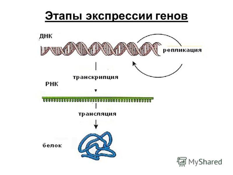 Этапы экспрессии генов