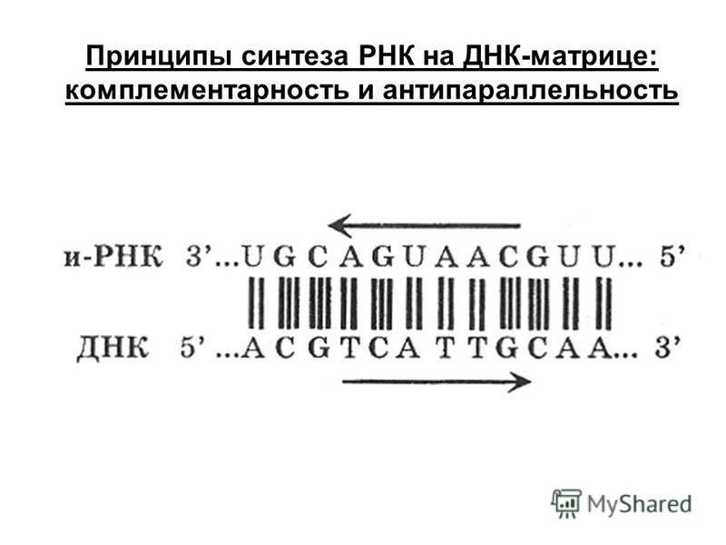 Принципы синтеза РНК на ДНК-матрице: комплементарность и антипараллельность