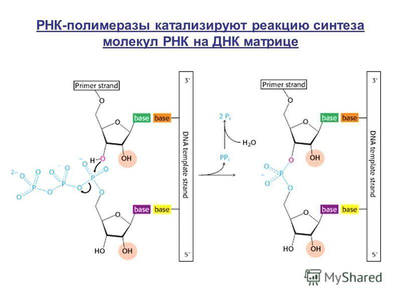 РНК-полимеразы катализируют реакцию синтеза молекул РНК на ДНК матрице
