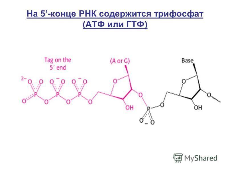 На 5-конце РНК содержится трифосфат (АТФ или ГТФ)