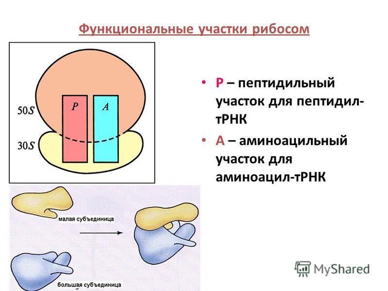 Р – пептидильный участок для пептидил- тРНК А – аминоацильный участок для аминоацил-тРНК Функциональные участки рибосом