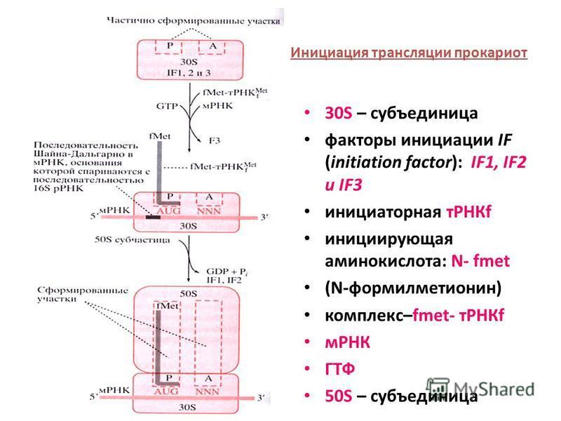 30S – субъединица факторы инициации IF (initiation factor): IF1, IF2 и IF3 инициаторная тРНКf инициирующая аминокислота: N- fmet (N-формилметионин) комплекс–fmet- тРНКf мРНК ГТФ 50S – субъединица Инициация трансляции прокариот
