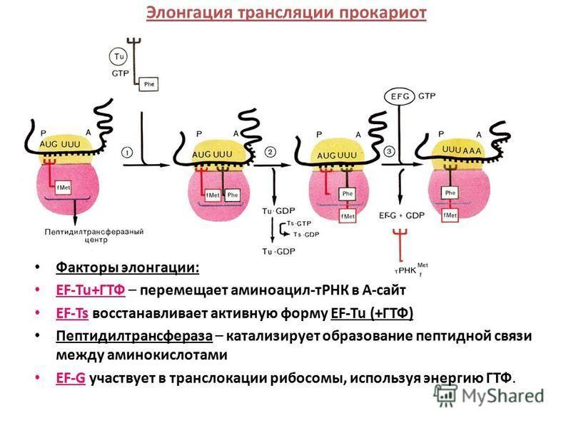 Элонгация трансляции прокариот Факторы элонгации: EF-Tu+ГТФ – перемещает аминоацил-тРНК в А-сайт EF-Ts восстанавливает активную форму EF-Tu (+ГТФ) Пептидилтрансфераза – катализирует образование пептидной связи между аминокислотами EF-G участвует в тр