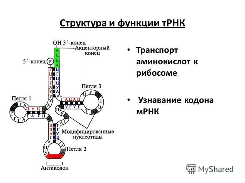 Транспорт аминокислот к рибосоме Узнавание кодона мРНК Структура и функции тРНК