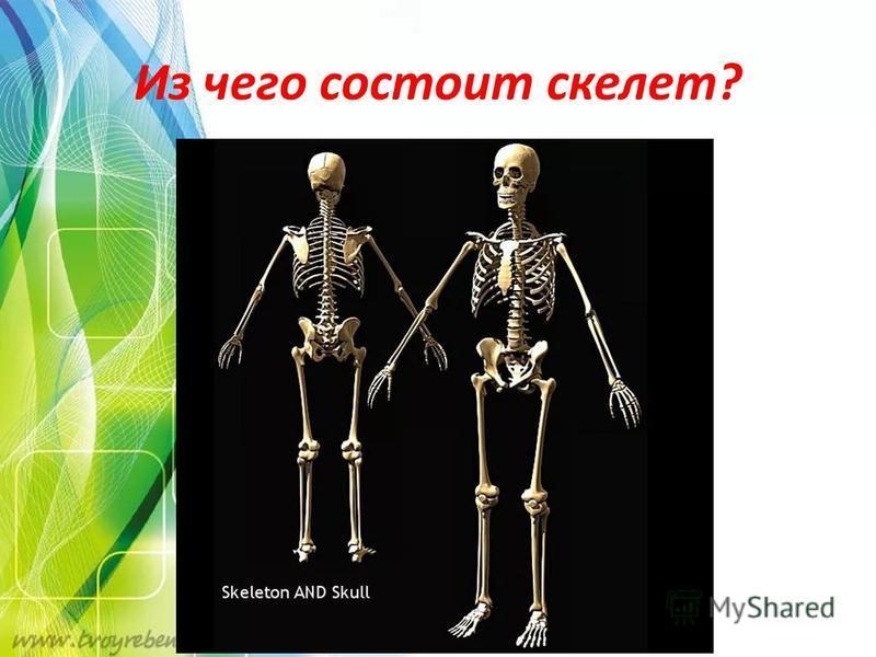 Из чего состоит скелет?