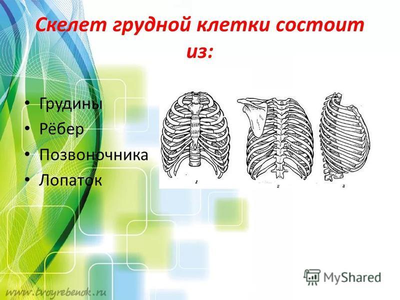 Скелет грудной клетки состоит из: Грудины Рёбер Позвоночника Лопаток