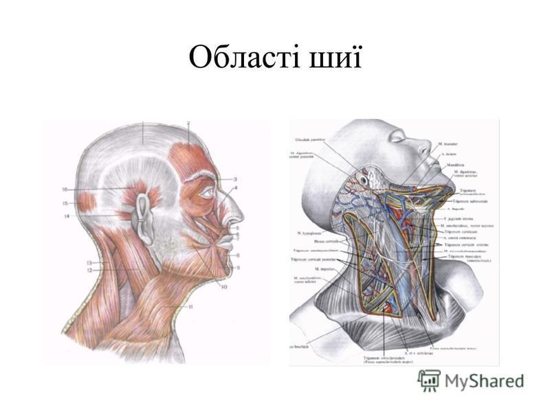 Області шиї