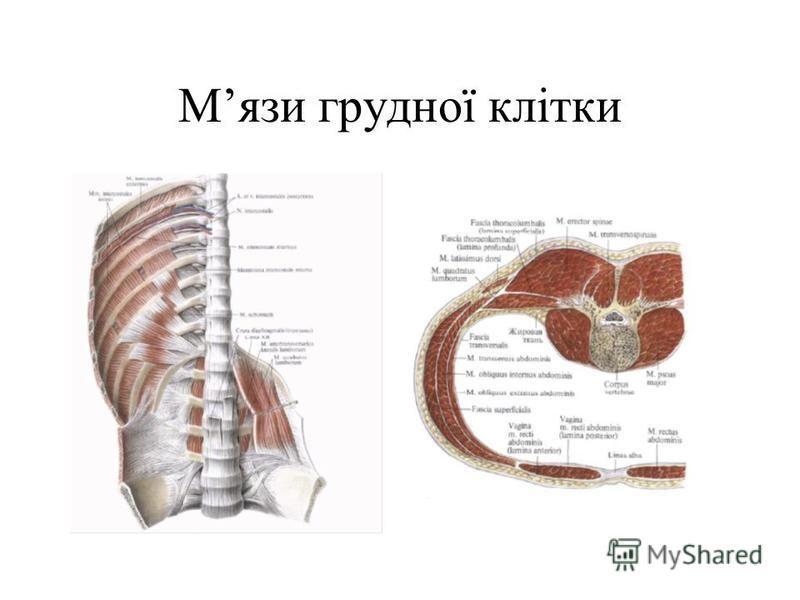 Мязи грудної клітки