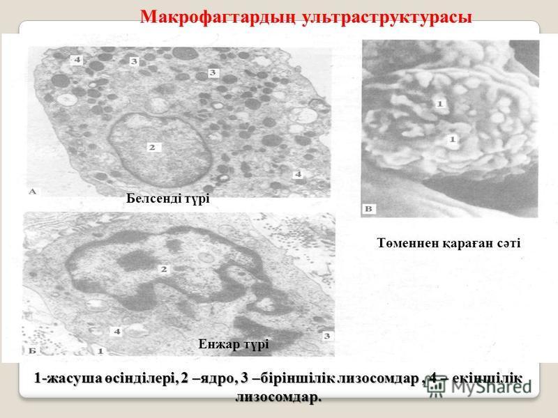 1-жасуша өсінділері, 2 –ядро, 3 –біріншілік лизосом дар, 4 – екіншілік лизосом дар. Макрофагтардың ультраструктурасы Белсенді түрі Енжар түрі Төменнен қараған сәті