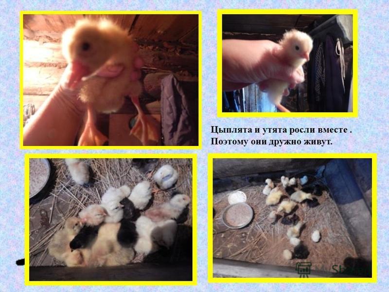 Цыплята и утята росли вместе. Поэтому они дружно живут.