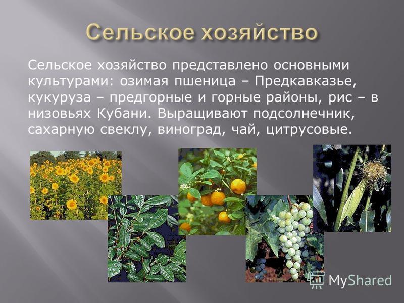 Сельское хозяйство представлено основными культурами: озимая пшеница – Предкавказье, кукуруза – предгорные и горные районы, рис – в низовьях Кубани. Выращивают подсолнечник, сахарную свеклу, виноград, чай, цитрусовые.