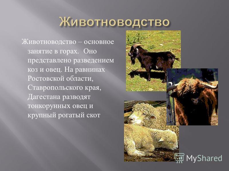 Животноводство – основное занятие в горах. Оно представлено разведением коз и овец. На равнинах Ростовской области, Ставропольского края, Дагестана разводят тонкорунных овец и крупный рогатый скот