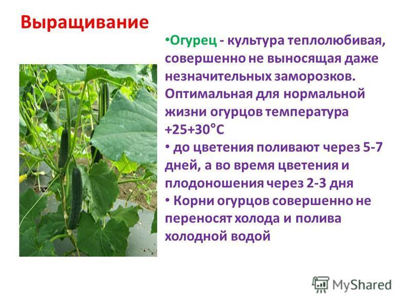 Выращивание Огурец - культура теплолюбивая, совершенно не выносящая даже незначительных заморозков. Оптимальная для нормальной жизни огурцов температура +25+30°С до цветения поливают через 5-7 дней, а во время цветения и плодоношения через 2-3 дня Ко